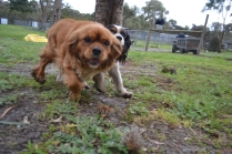 banksia-park-puppies-hannah-21-of-28