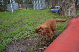 banksia-park-puppies-hannah-22-of-28