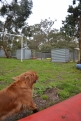 banksia-park-puppies-hannah-25-of-28