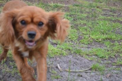 banksia-park-puppies-hatti-12-of-19