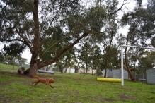 banksia-park-puppies-hatti-13-of-19