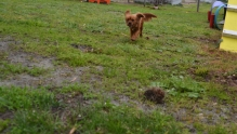 banksia-park-puppies-hatti-15-of-19