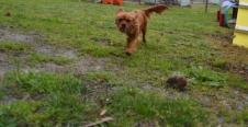 banksia-park-puppies-hatti-16-of-19