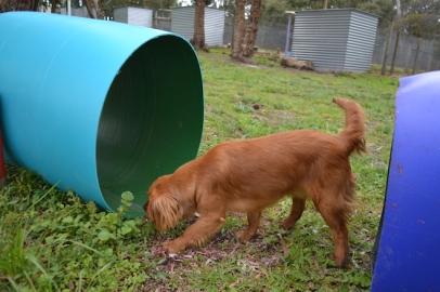 banksia-park-puppies-hatti-19-of-19