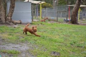 banksia-park-puppies-hatti-5-of-19