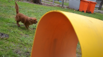 banksia-park-puppies-hatti-6-of-19