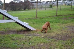 banksia-park-puppies-hatti-7-of-19