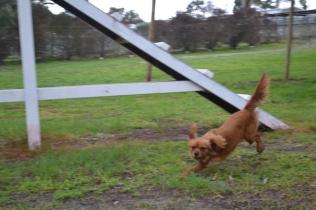 banksia-park-puppies-hatti-8-of-19