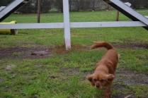 banksia-park-puppies-hatti-9-of-19