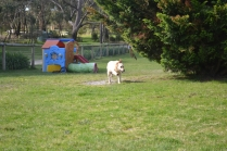 banksia-park-puppies-hunny-20-of-31