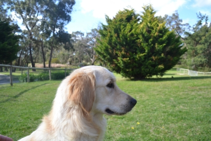 banksia-park-puppies-hunny-28-of-31