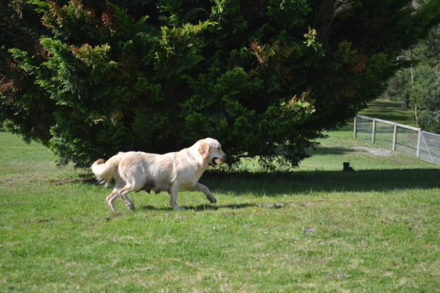 banksia-park-puppies-hunny-31-of-31