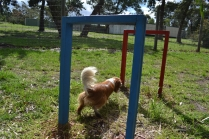banksia-park-puppies-jose-30-of-40