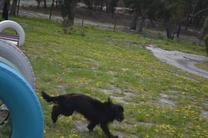 banksia-park-puppies-josefa-1-of-23