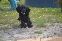 banksia-park-puppies-josefa-14-of-23