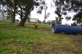 banksia-park-puppies-juhu-5-of-12
