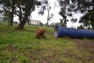 banksia-park-puppies-juhu-6-of-12