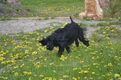 banksia-park-puppies-julia-12-of-14