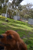 banksia-park-puppies-julsi-16-of-35