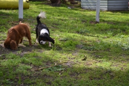banksia-park-puppies-julsi-17-of-35
