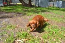 banksia-park-puppies-julsi-24-of-35