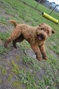 banksia-park-puppies-kojak-1-of-18