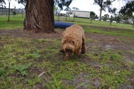 banksia-park-puppies-kojak-10-of-18