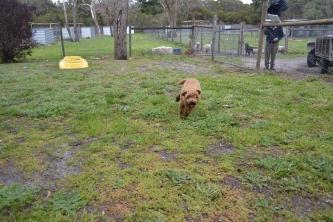 banksia-park-puppies-kojak-16-of-18