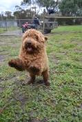 banksia-park-puppies-kojak-3-of-18