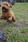 banksia-park-puppies-kojak-4-of-18