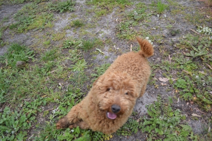 banksia-park-puppies-kojak-5-of-18