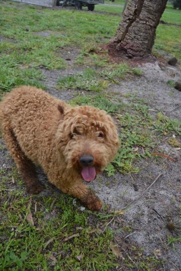 banksia-park-puppies-kojak-7-of-18
