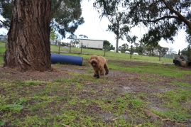 banksia-park-puppies-kojak-9-of-18