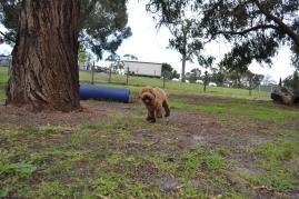 banksia-park-puppies-kojak-9-of-18