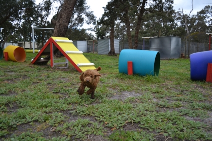 banksia-park-puppies-koko-1-of-29
