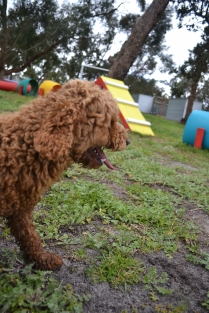 banksia-park-puppies-koko-10-of-29
