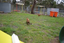 banksia-park-puppies-koko-11-of-29
