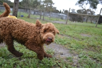 banksia-park-puppies-koko-16-of-29
