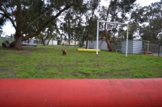 banksia-park-puppies-koko-17-of-29