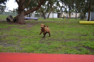 banksia-park-puppies-koko-18-of-29
