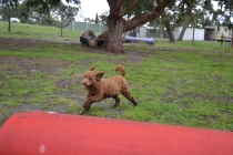 banksia-park-puppies-koko-19-of-29