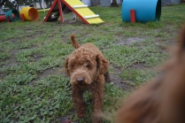 banksia-park-puppies-koko-2-of-29