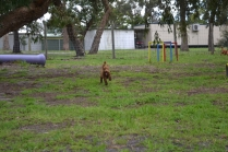 banksia-park-puppies-koko-21-of-29