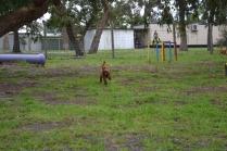 banksia-park-puppies-koko-21-of-29