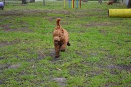 banksia-park-puppies-koko-23-of-29