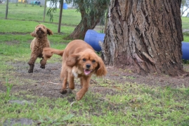 banksia-park-puppies-koko-24-of-29