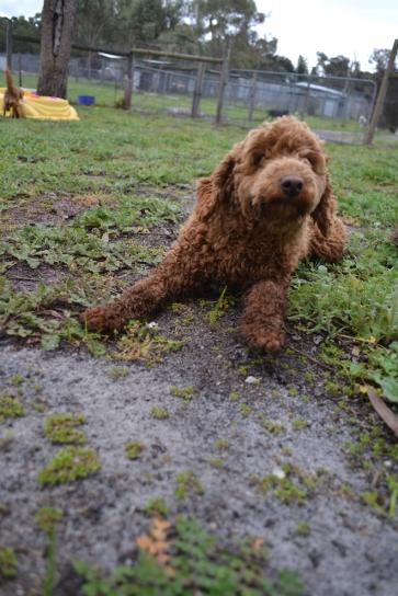 banksia-park-puppies-koko-25-of-29