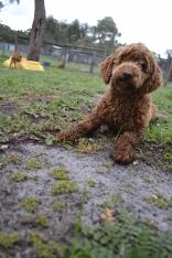banksia-park-puppies-koko-26-of-29
