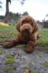 banksia-park-puppies-koko-28-of-29