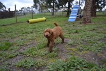 banksia-park-puppies-koko-3-of-29